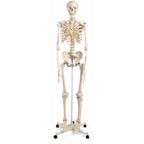 Πρόπλασμα κλασικού σκελετού STAN, σε σταντ 5 ποδιών με ροδάκια