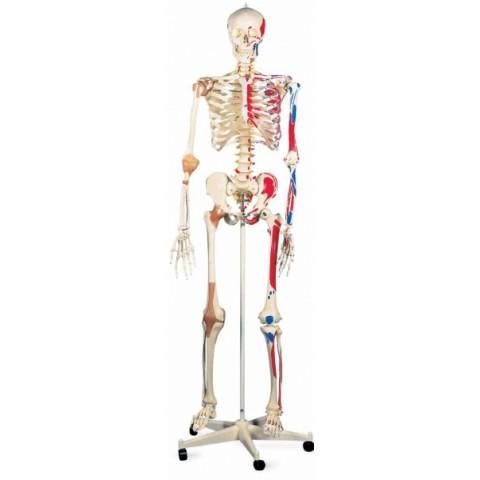 Πρόπλασμα σκελετού τύπου Deluxe SAM, σε σταντ 5 ποδιών με ροδάκι