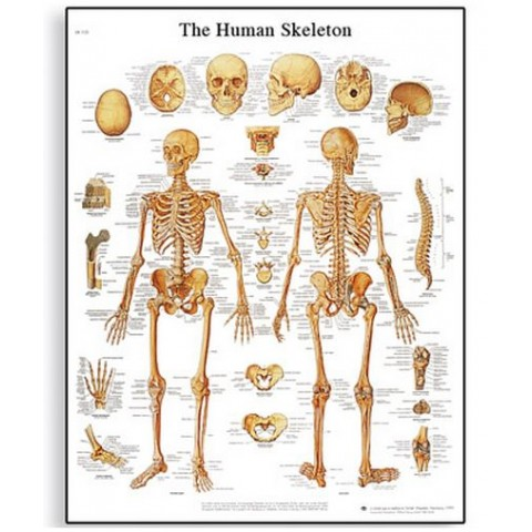 Διάγραμμα ανθρώπινου σκελετού 3B Scientific
