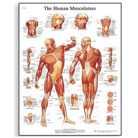 Διάγραμμα ανθρώπινων μυών 3B Scientific
