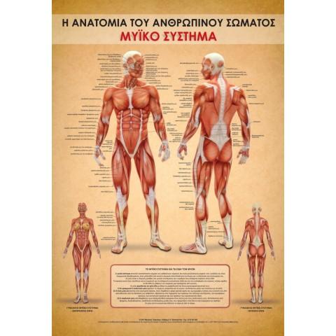 Αφίσα μυϊκού συστήματος 100x70 cm πλαστικοποιημένη (Εκδόσεις Τσακνάκης Νίκος)