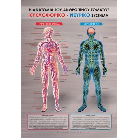 Αφίσα νευρικού συστήματος 100x70 cm πλαστικοποιημένη (Εκδόσεις Τσακνάκης Νίκος)